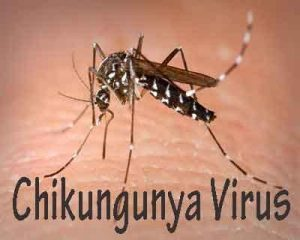 Chikungunya virus is transmitted across mosquito generations: Study