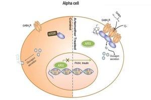 Breakthrough in diabetes research: Cells produce insulin upon artemisinin treatment