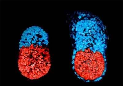Scientists create artificial mouse embryo from stem cells for first time
