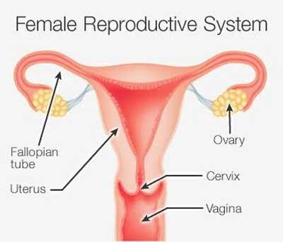 Scientists Create 3d Mini Female Reproductive System