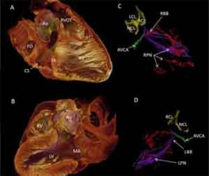 Source of Human Heartbeat Revealed in 3-D
