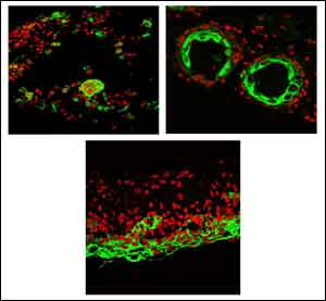 USC Stem Cell scientists obtain how to guide for producing hair follicles