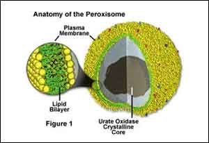 Peroxisomes identified as fighters in the battle against bacterial infections