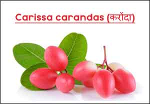 Cranberry (Karonda in Hindi) Most Useful in Recurrent UTIs : American Urological Association