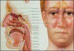 Blocking sweet taste receptors can help body fight sinus