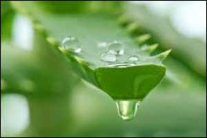 Aloe vera a natural denture cleanser with minimal side effects